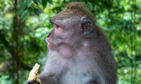 Ubud Monkey Forest – Niedlich oder gefährlich?